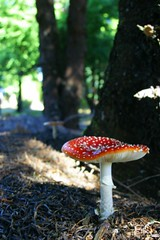 20061205-vs-6027 (Made in Madeira) Tags: portugal nature mushrooms island europe amanitamuscaria madeira champignons cogumelos naturesfinest blueribbonwinner 10faves flickrsbest santodaserra fiveflickrfavs