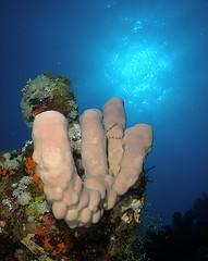 Sponge and sunburst (vanveelen) Tags: nature underwater redsea egypt diving sunburst sponge rasmohamed sp350