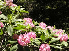 Butterfly on Rhodies