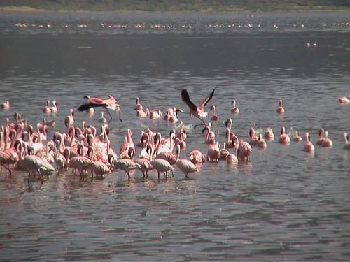 LB More Flamingos