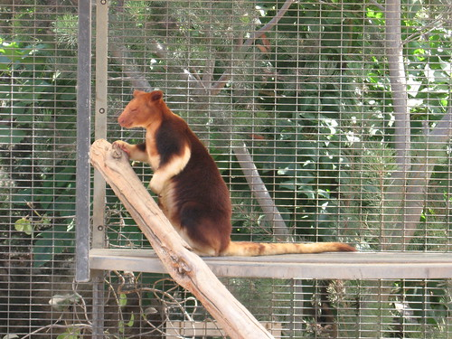 Buerger's Tree Kangaroo