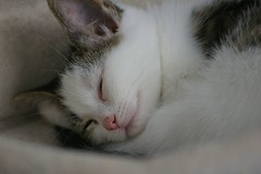 Kaylee sleeping (Mandy Verburg) Tags: sleeping pet female cat kitten kat feline pussy kitty ek huisdier pussycat poes kaylee slapen katachtige cyper thebiggestgroup mandyarjan thebiggestgroupwithonlycats