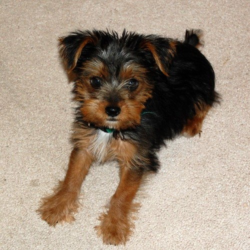 Yorkie Russell Mix Do They Look Like Yorkies Yorkietalkcom