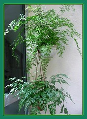 Hanging pots of Southern Maidenhair Fern and Silver Lace Fern at our courtyard