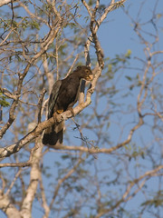 Black Parrot (David Thyberg) Tags: park black bird animal nationalpark parrot 2006 national getty madagascar lesser nigra vasa birdwatcher 70200mmf28gvr parkstock tsingy blackparrot avianexcellence flickrchallengegroup bekopaka bemaraha tsingydebemaraha lesservasaparrot coracopsisnigra coracopsis