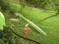 Pretty mantis - by Mean and Pinchy