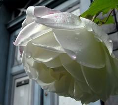 Water on white (:Linda:) Tags: above door blue white flower wet water rose germany village drop thuringia droplet below wassertropfen tropfen trpfchen gartenblume brden weiseblume picturewithmusic