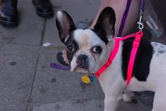 Hello (funston) Tags: frenchbulldog soma sanfranciscoca batdog sfchronicle96hrs folsomstreetfair2007