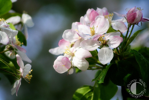 131-abundant blossoms 2