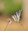 Iphiclides feisthamelii. (aziouezmazouz) Tags: macro beauty butterfly amazing bokeh soe beautifulscenery bellissima machaon vibrantcolours theunforgettablepictures overtheexcellence unforgettablepicture stunningsupershot primemacro
