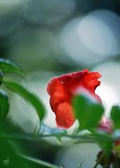 In Need of Hummer (Maggggie) Tags: red flower green nikon d60 mywinners vanagram hummingbirdvineflower