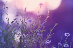 when the lights go out (benji-kenji) Tags: white blur macro daisies canon garden dof bokeh daisy dreamy flowermacro gardenflower beautifulflower beautifulbokeh