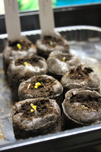 Sprouting Dinosaur and White Russian Kale