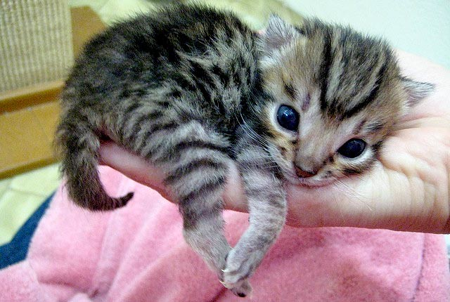 cute bengal kitten in hand