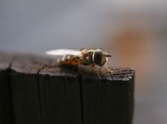 dipterous 01 (Ing.Garo) Tags: eos insects riccardo insetti garo dittero garofano dipterous