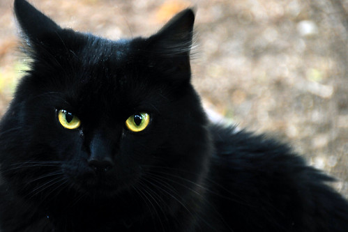 gambar kucing hitam comel image3