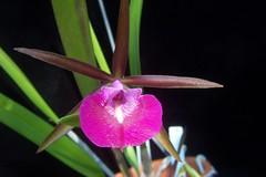 Bc. Star Ruby (dwittkower) Tags: orchid brassocattleya brassavola cattleya orchidaceae orchids orchidée orqudea orquideas flora flower