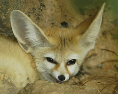 I can hear EVERYTHING you say! (ucumari) Tags: animal june mammal nikon searchthebest d70s northcarolina fox nczoo 2007 fennecfox naturesfinest northcarolinazoo specanimal ucumari animalkingdomelite ucumariphotography impressedbeauty diamondclassphotographer flickrdiamond