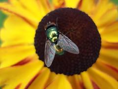 Dry Fly (Jus'fi) Tags: flower macro fly naturesfinest superbmasterpiece macrophotosnolimits magicofaworldinmacro
