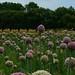 Photo: Allium porrum