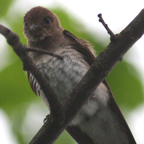 northern rough winged swallow close 2