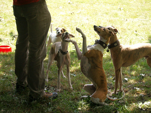 Whippets and Fee
