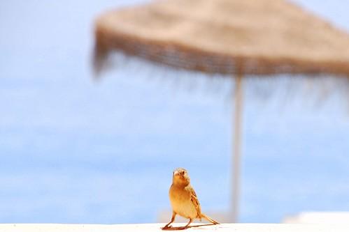 A sparrow's holidays / Vacaciones de un gorrión
