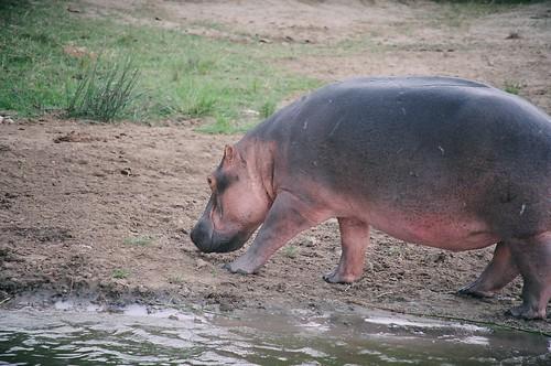 Uganda - QENP Hippo on the move