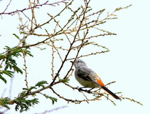 small minivet 080707 valley school
