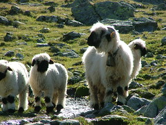 Swiss Sheep (puffin11uk) Tags: switzerland sheep valais hauteroute 50club puffin11uk valaisblacknose walliserschwarznasenschaf valaisianblacknosesheep