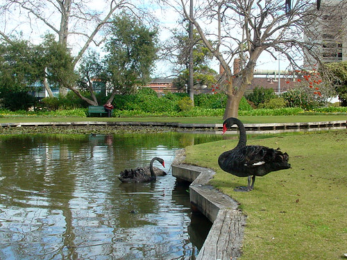 Black swans at Queen's Garden