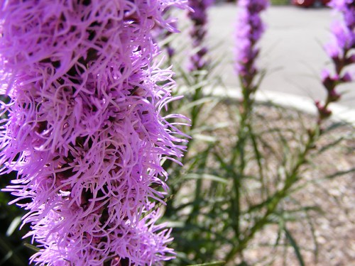 Purple Perennial