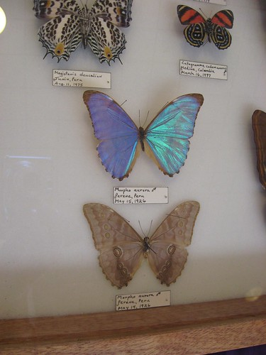Iridescent butterfly 1.1