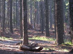 Deer in the woods (penelopepi) Tags: family camping oregon sunrise fun view deer mthood whereswaldo crawdads canyoufindit kingsleyreservoir