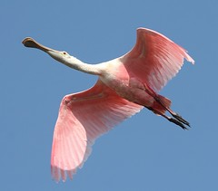 Aloft at last! (Geoff Coe) Tags: wetlands sanibel roseatespoonbill shorebirds dingdarling naturesfinest ajaiaajaja explore92 shieldexcellence avianexcellence brisbanebirds lightstylus 8008nn