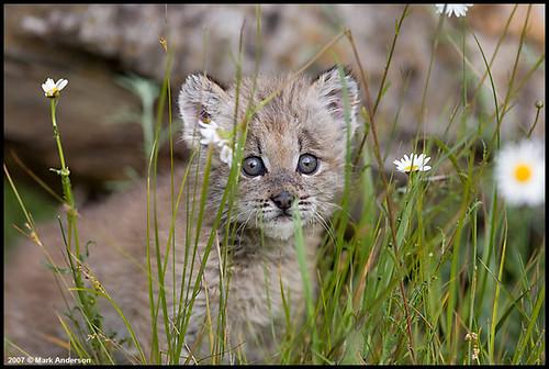 Canadian Lynx Kitten. Canadian Lynx Kitten