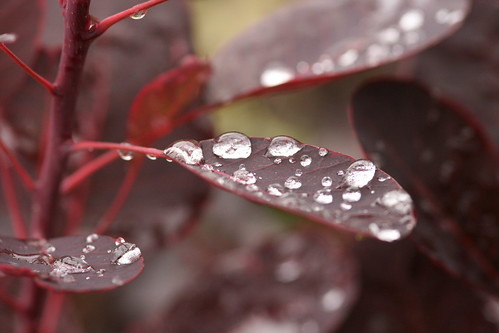 Water drops on Burgundy Leaves Close Up