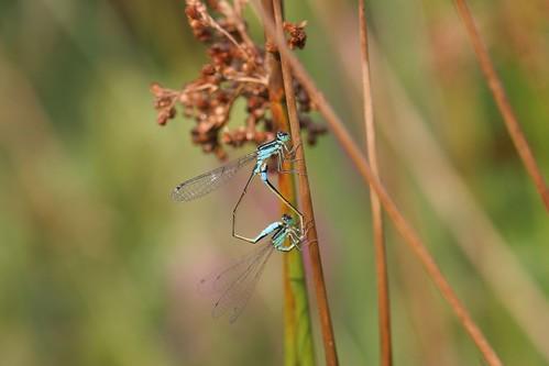 Autrement appelées Ischnura elegans, ou l'Agrion élégant... Que de poésie dans ces joncs !