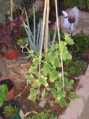 melon plant trellised (sandia15) Tags: plants garden koreanmelon