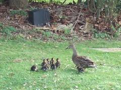 duck rescue 9