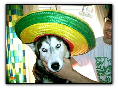 Mexican Girl (aunqtunolosepas♥) Tags: blue dog pet pets cute love dogs hat animal animals puppy mexico amazing eyes puppies husky funny bea gorro sweet gorgeous huskies cutie luna perro mexican cap ojos kiko animales lovely cuteness mascota mascotas perritos lunita perra azules divertida mejico cuate pakito mejicana kico gorrito aunqtunolosepas
