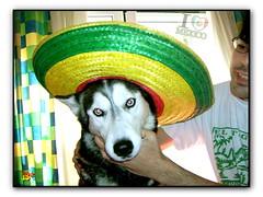 Mexican Girl (aunqtunolosepas♥) Tags: blue dog pet pets cute love dogs hat animal animals puppy mexico amazing eyes puppies husky funny bea gorro sweet gorgeous huskies cutie luna perro mexican cap ojos kiko animales lovely cuteness mascota mascotas perritos lunita perra azules divertida mejico cuate pakito mejicana kico gorrito aunqtunolosepas