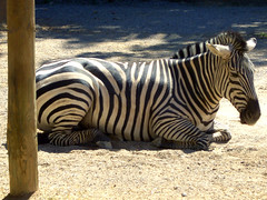 Zebra at Rest