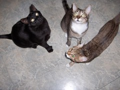 FEED ME! FEED ME! FEED ME! (BunnieTwo) Tags: cute cat blackcat eyes tabby kitty remy lex polydactyl babycat