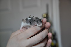 (syzygial) Tags: rat babyrats