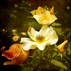 Sally Holmes in the backyard (Visualtricks) Tags: roses backyard textures sallyholmes flypaper explore140 summerpainterly whiterosesallyholmesisaverypopularsmallclimbingrose