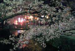 cherry blossoms at night 2 (転倒虫) Tags: pink light flower japan night cherry evening spring kyoto 京都 桜 hanami 春 takasegawa 高瀬川