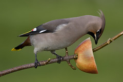 In my own garden (kasmunro2) Tags: apple scotland waxwing caithness thurso