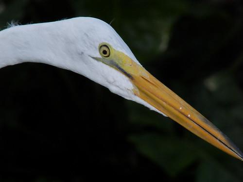 Egret Closeup