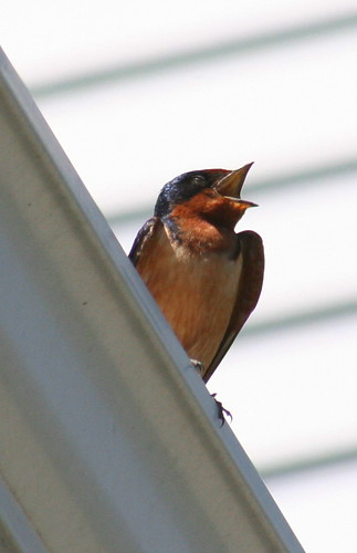 barn swallow squawk
